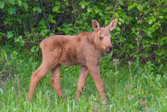 Moose Calf. A young moose calf in Alaska royalty free stock photo