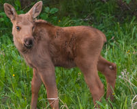 Moose Calf Stock Photography