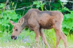 Moose Calf Royalty Free Stock Photography