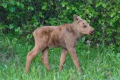 Moose Calf Royalty Free Stock Images