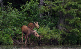 Moose calves in Algonquin Park royalty free stock images