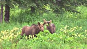 Moose calves eating plants in field stock video