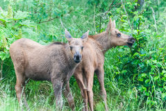 Moose Calves Royalty Free Stock Photos