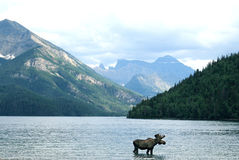 Moose in Canadian lake. Landscape view of a moose crossing through Waterton Lake in Canada Royalty Free Stock Image