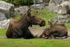 Moose and child Royalty Free Stock Photos