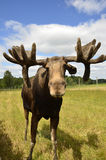 Moose Royalty Free Stock Photos