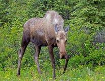 Moose Coming My Way Royalty Free Stock Photo