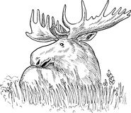 Moose or common European elk Royalty Free Stock Photography