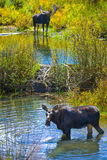 Moose in the Conundrum Creek Colorado. Moose Feeding in the Conundrum Creek Colorado Royalty Free Stock Photography