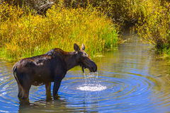 Moose in the Conundrum Creek Colorado Stock Photography