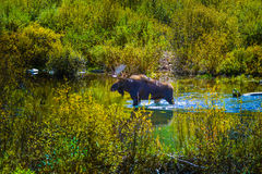 Moose in the Conundrum Creek Colorado. Moose Feeding in the Conundrum Creek Colorado Stock Images