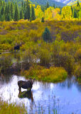 Moose in the Conundrum Creek Colorado. Moose Feeding in the Conundrum Creek Colorado Royalty Free Stock Image