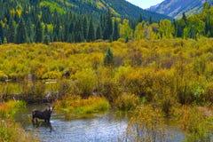 Moose in the Conundrum Creek Colorado Royalty Free Stock Photo