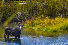 Moose in the Conundrum Creek Colorado. Moose Feeding in the Conundrum Creek Colorado Stock Photography