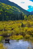 Moose in the Conundrum Creek Colorado Royalty Free Stock Image