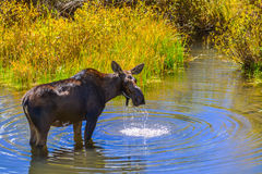 Moose in the Conundrum Creek Colorado. Moose Feeding in the Conundrum Creek Colorado Royalty Free Stock Photo