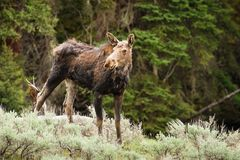 Moose Cow Royalty Free Stock Photo
