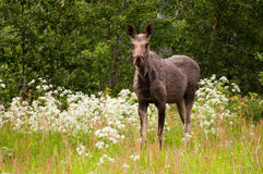 Moose cow (Alces alces) Royalty Free Stock Photos