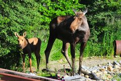 Moose Cow and Baby - 2 Royalty Free Stock Photos