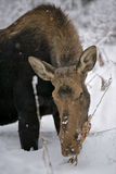 Moose Cow browsing in winter Stock Photo