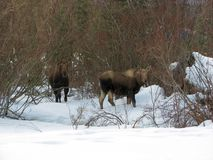 Moose cow and calf Stock Photography