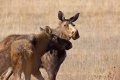 Moose Cow and Calf. Saskatchewan Canada Royalty Free Stock Image