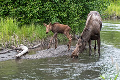 Moose cow and calf along a creek Royalty Free Stock Photography