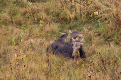 Moose Cow and Calf Bedded Stock Photo