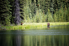 Moose Cow and Calf Feeding in Lake Royalty Free Stock Photo