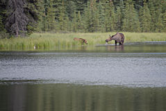Moose Cow and Calf Feeding in Lake Royalty Free Stock Image