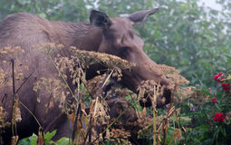 Moose cow and calf in fog Stock Images