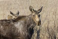 Moose Cow and Calf Saskatchewan. Canada Stock Photography