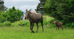Moose cow and Calf Walking across meadow Royalty Free Stock Images