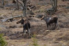 Moose cow and calf in the wild - Stock image. Moose cow and calf in the wild in Ontario, Canada Royalty Free Stock Photos