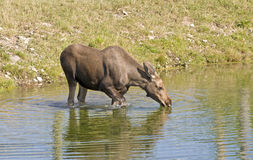 Moose cow drinking in pond. Of the Biopark de Gaspesie, Quebec, Canada Stock Images