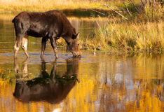 Moose Cow Drinking Water-Grand Tetons Royalty Free Stock Photos