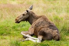 Moose cow. An elk cow lying in grass Royalty Free Stock Images