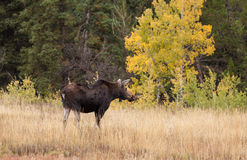 Moose Cow in Fall Royalty Free Stock Photography