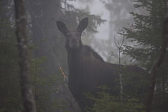 Moose cow Stock Image