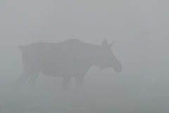 Moose cow in fog Stock Photo