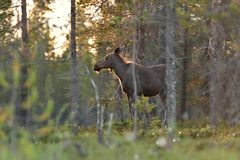 Moose cow in Lapland forest royalty free stock images