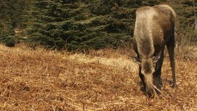Moose cow grazing on fresh fireweed stock footage