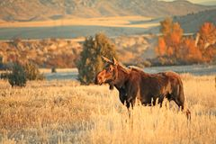 Moose Cow. In the Headwaters State Park, Three Forks, MT royalty free stock photography