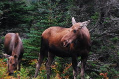 Moose:  A Cow And Her Calf Royalty Free Stock Photography