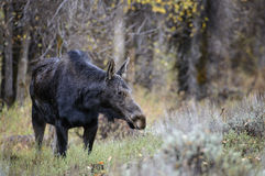 Moose cow. A moose cow investigates the brush.  Fall in Grand Teton national park Stock Image