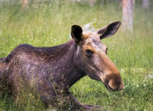 Moose cow lying in the grass Stock Image