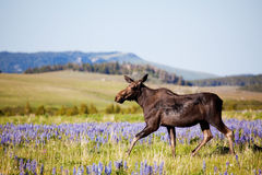 Moose cow on meadow. Moose cow in the wild crossing a meadow in the Bighorn Mountains, Wyoming, late sun royalty free stock photography