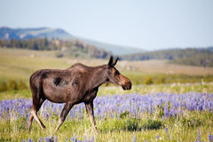 Moose cow on meadow Royalty Free Stock Photography