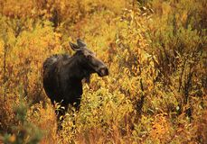 Moose Cow on a Rainy Morning Stock Photo