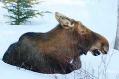 Moose Cow Resting Stock Photo